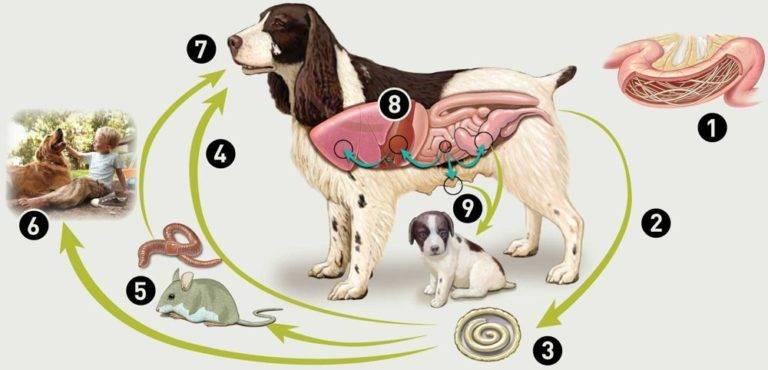 Круглые глисты у собак: виды, пути заражения и лечение
