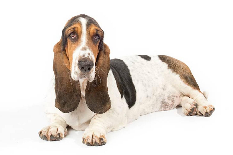 Бассет-хаунд: описание породы собак с фото и видео