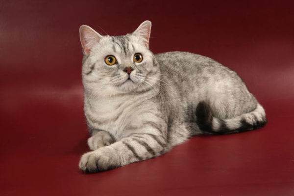 Кошка хайленд-страйт: описание породы и особенности ухода за пушистой шотландкой