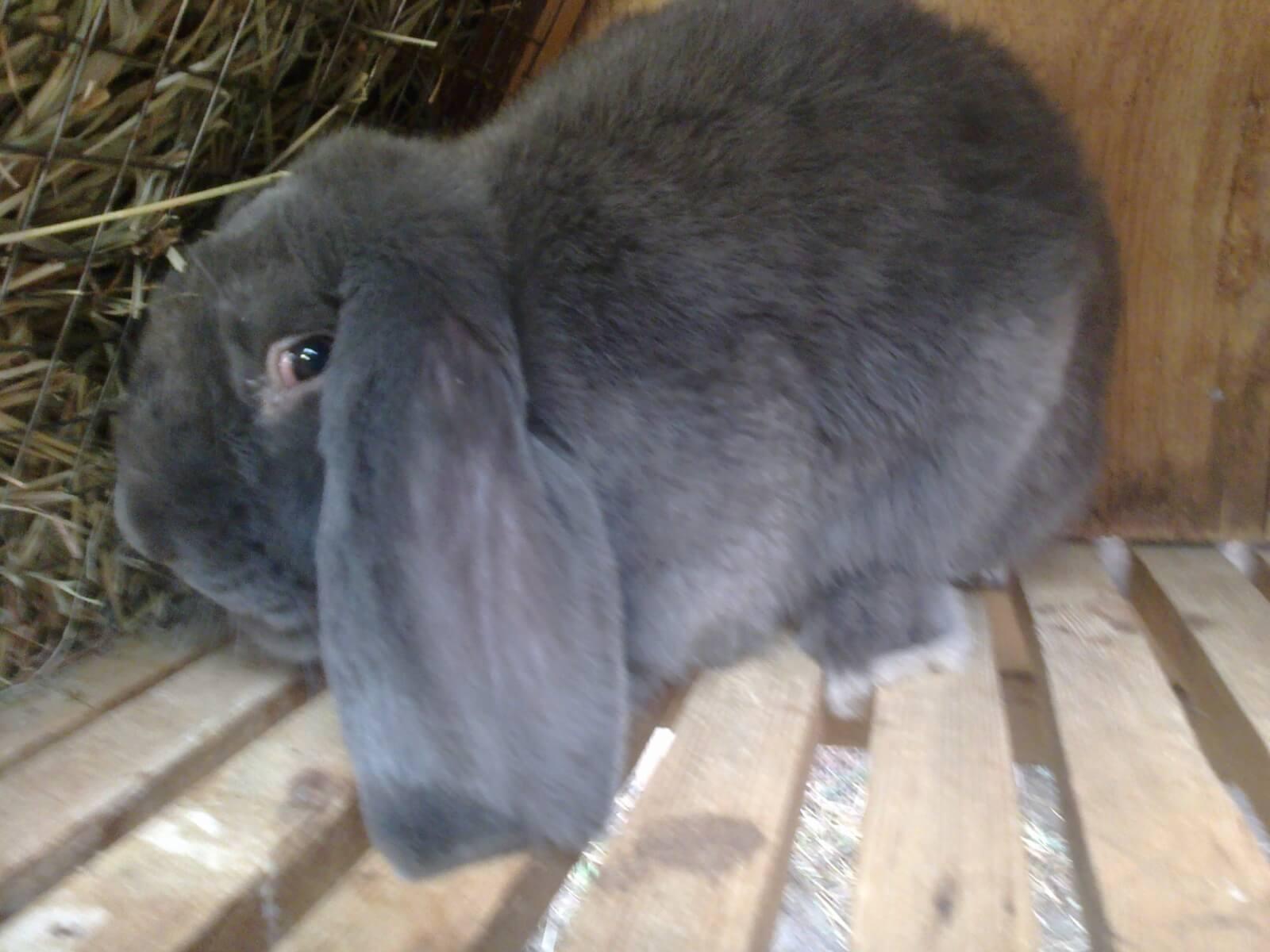 Кролики породы баран: описание, разведение, уход