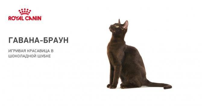 Бомбейская кошка — описание котов породы бомбей