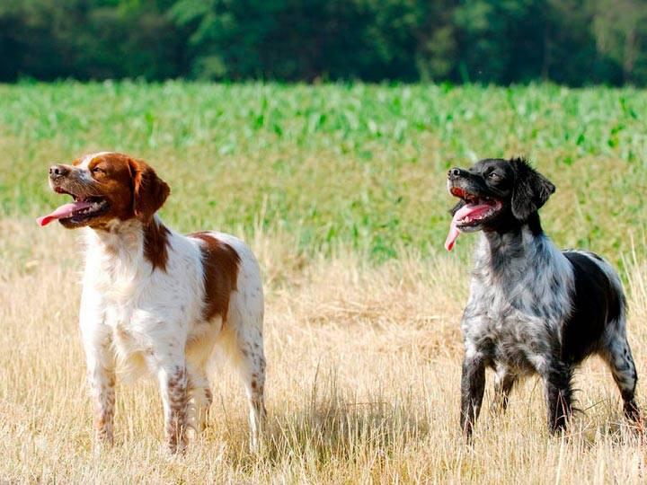 Бретонский эпаньоль - описание породы и отличительные особенности собаки
