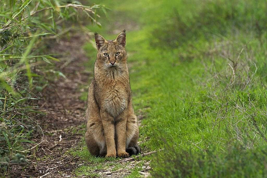 Своенравный и грациозный камышовый кот