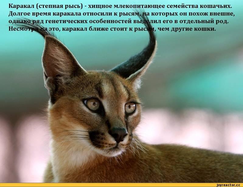 Дорогая кошка с уникальным происхождением — порода каракет