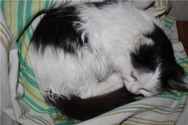 Спид кошек (симптомы, анализы, вакцинация) если у кошек синдром приобретенного иммунодефицита?