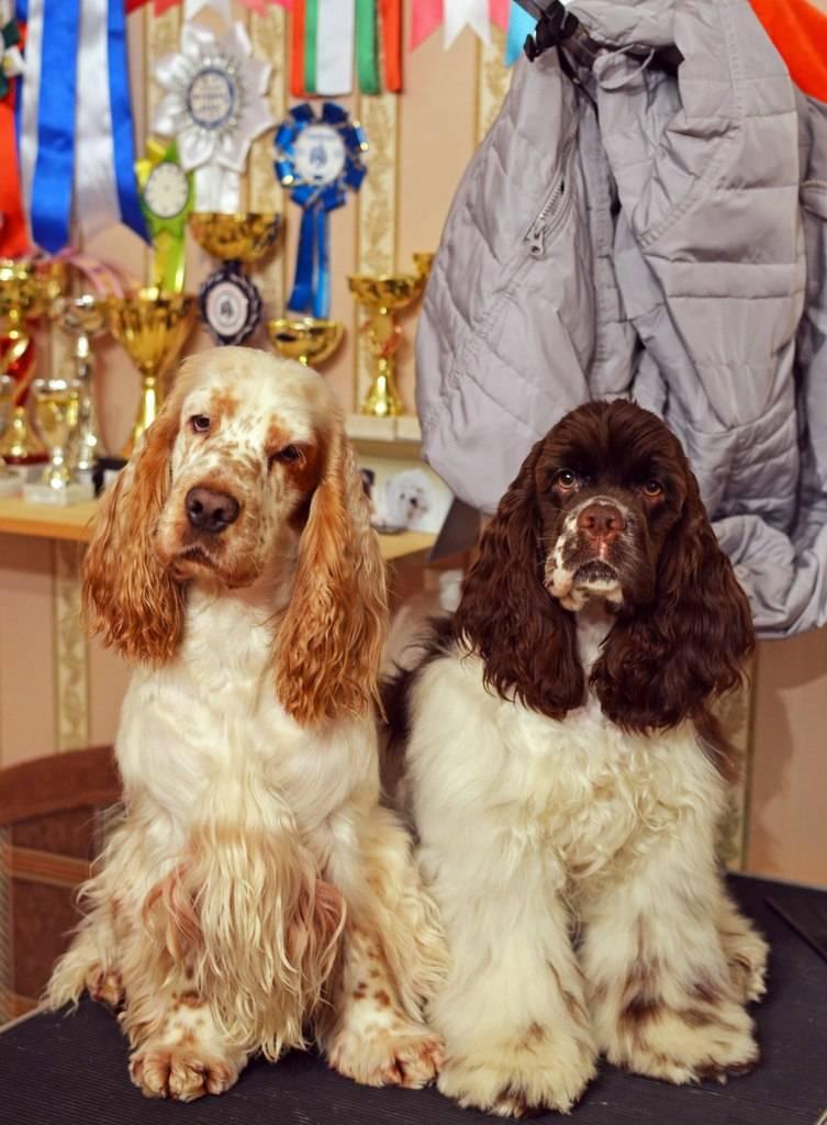 Английский кокер-спаниель ? фото, описание, характер, факты, плюсы, минусы собаки ✔