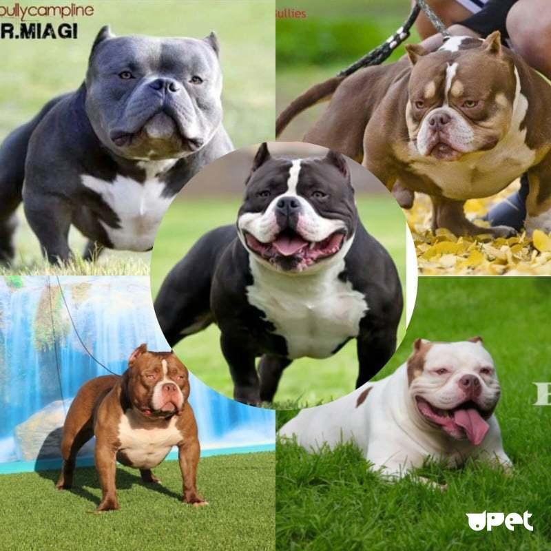 Порода американский булли: фото, характеристика собаки, цена, уход, дрессировка