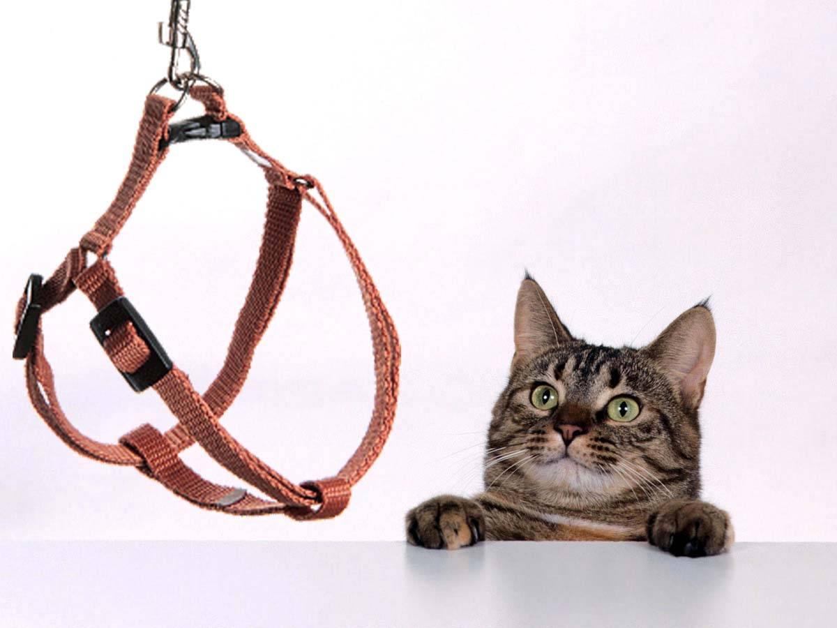 Зачем кошке или коту одевать шлейку и поводок, как их правильно выбрать