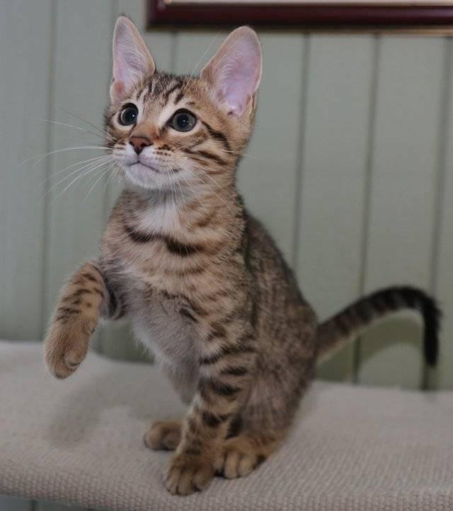 Серенгети: описание породы кошек с фото и видео