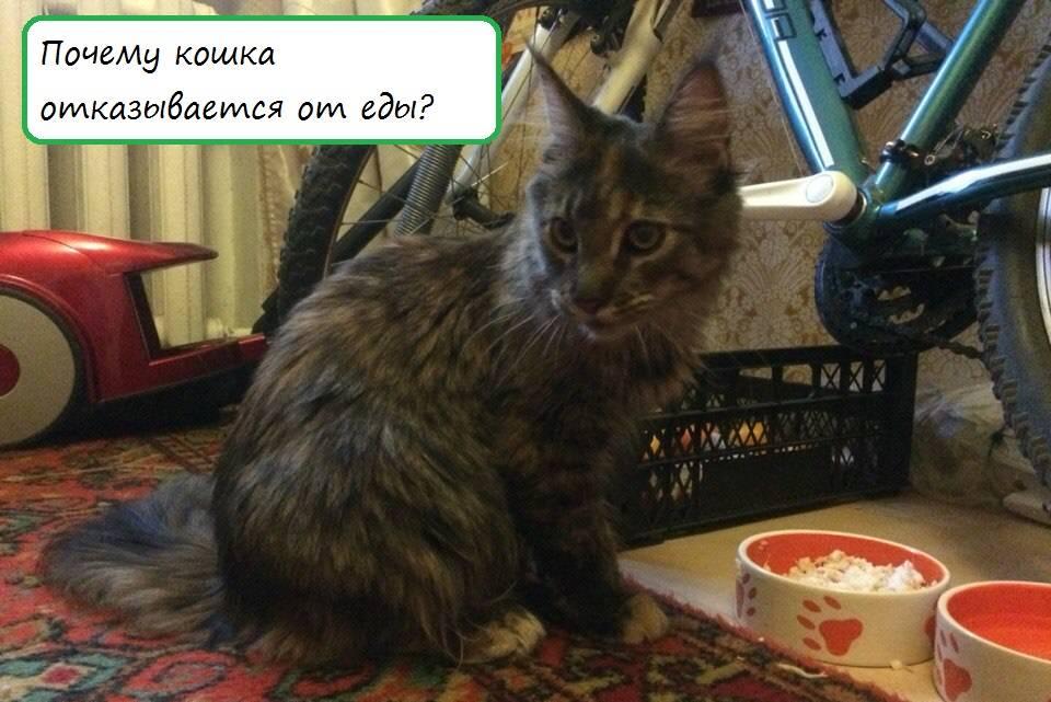 Почему кот ничего не ест: причины, что делать?