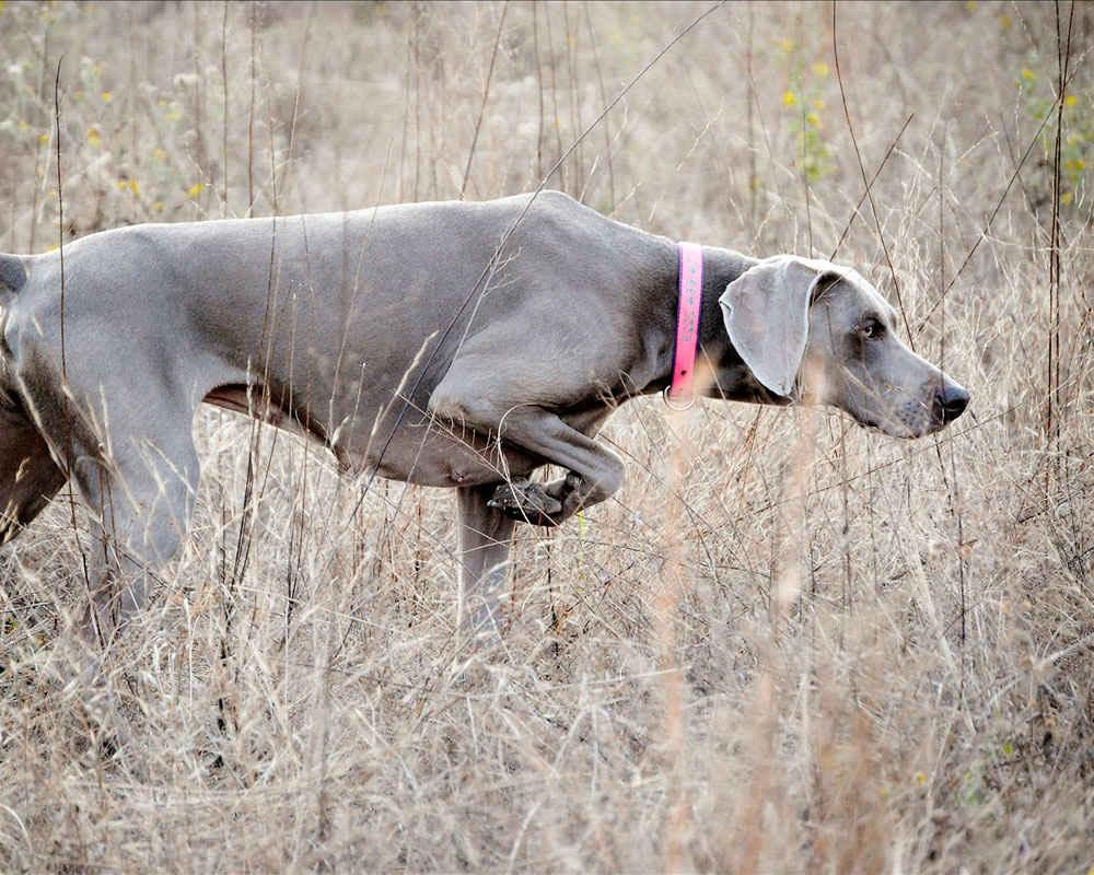 Порода собак венгерская выжла - описание, характер, характеристика, фото венгерских выжл и видео, цена