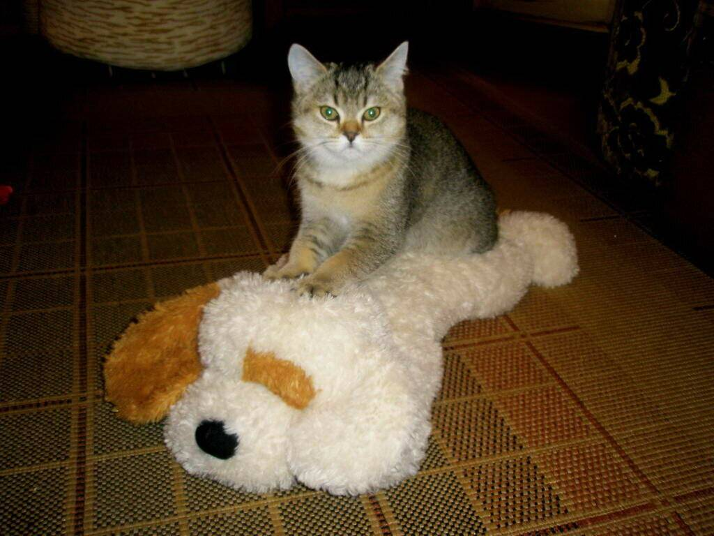 Изъявление любви или способ расслабиться: почему кошки мурчат?