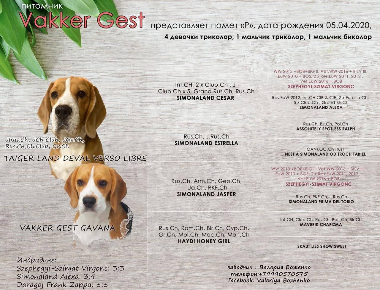 Отзывы владельцев о породе собак «джек-рассел-терьер»: история происхождения и описание характера питомцев