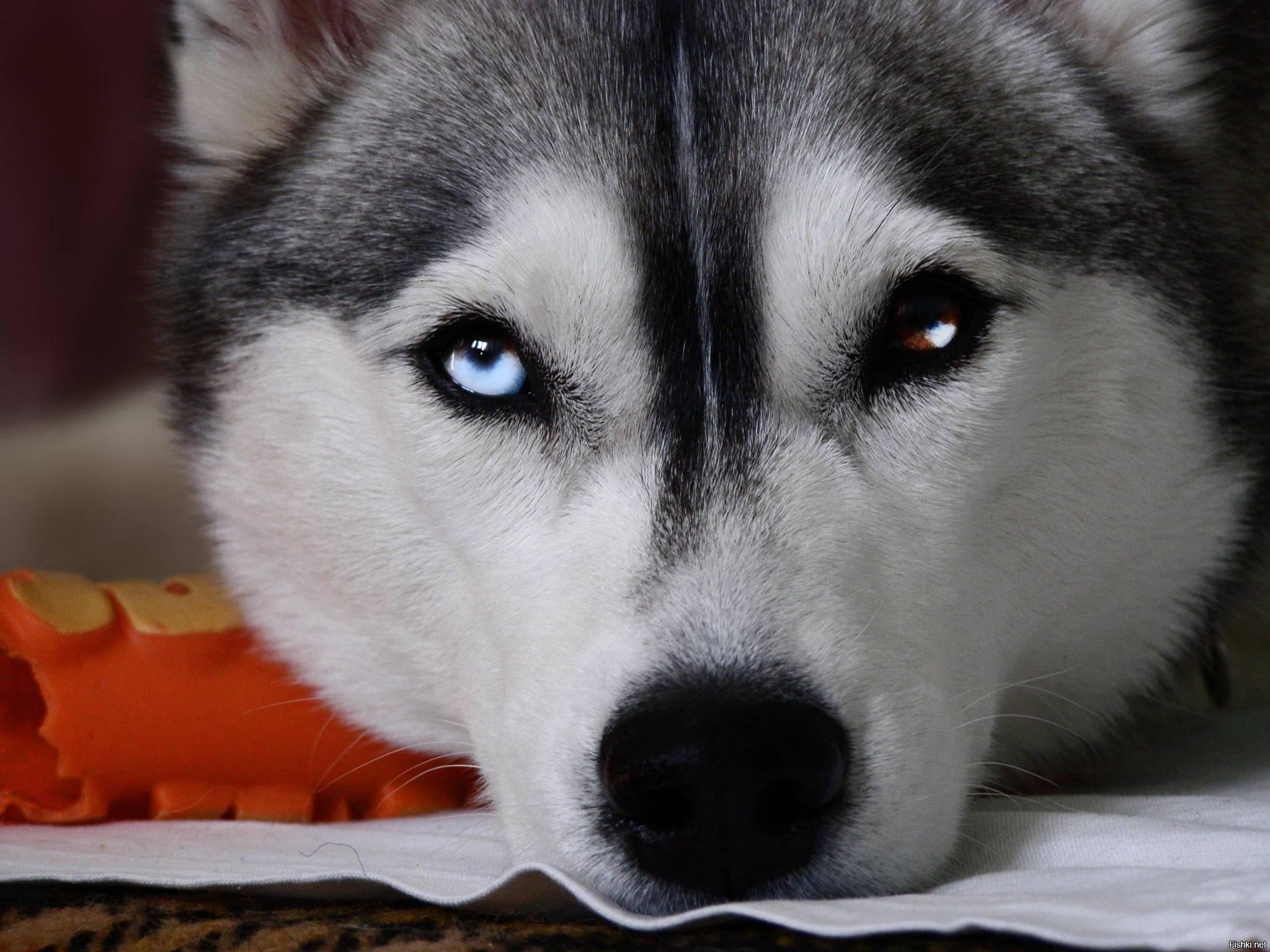 Может ли поменяться цвет глаз у хаски. почему у хаски разные глаза – голубые и карие: основные причины