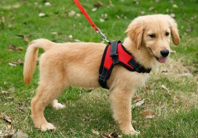 Шлейка для собаки своими руками: как сшить самодельную шлею или упряжку для своего маленького питомца