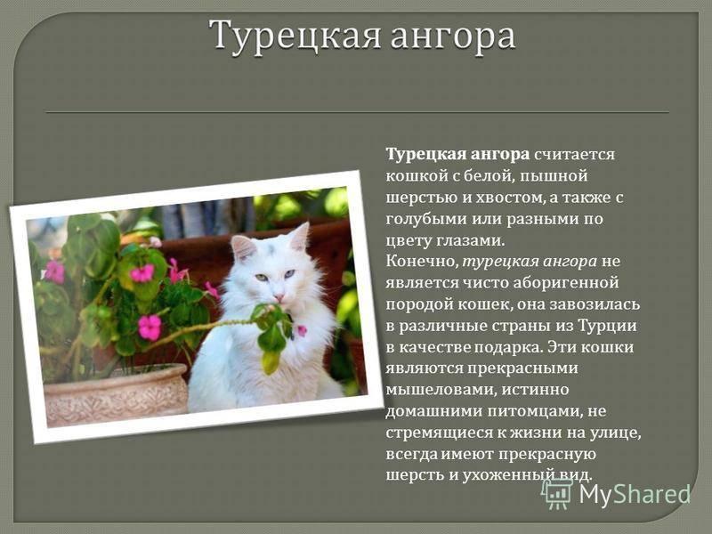 Порода ангорская кошка- кошка благородных кровей