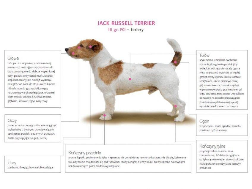 Как выглядит метис джек-рассел-терьер: популярные виды и описание похожих пород