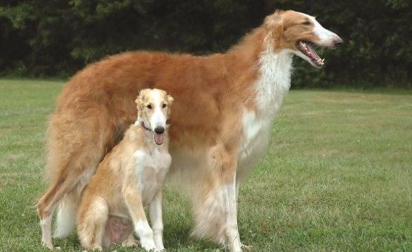 Русская борзая: особенности характера и правила воспитания благородной охотничьей собаки