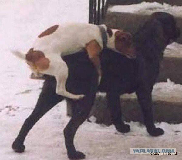 Что делать если собаки слиплись при спаривании — почему слипаются?