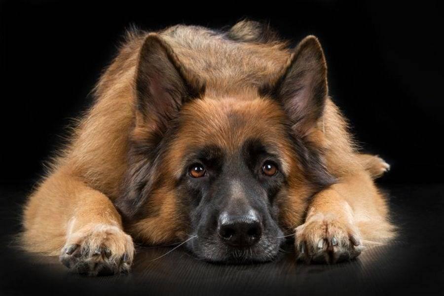 Топ-15 самых добрых пород собак в мире (описание + фото)