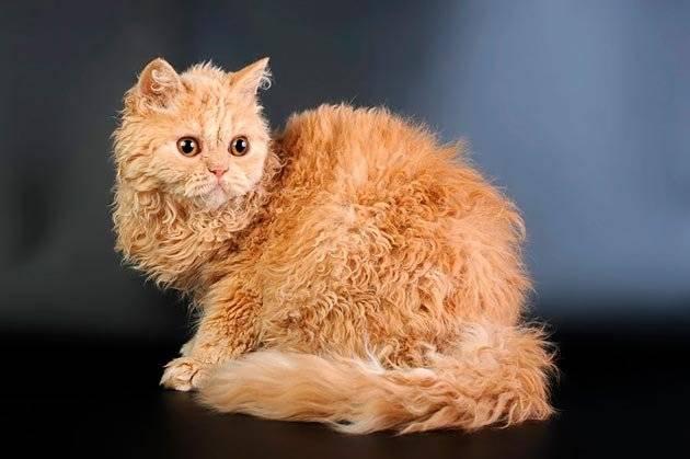 Кудрявые породы кошек и котов | фото