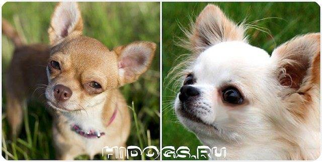 Чихуахуа (77 фото): разновидности породы, описание характера собак. как выглядят щенки и взрослые собаки? отзывы владельцев