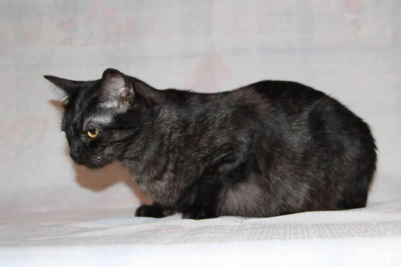 Азиатская табби: описание и характеристика породы кошек, правила ухода и питания