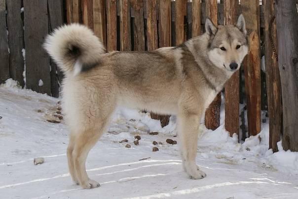 Сибирская лайка: описание и характеристика породы
