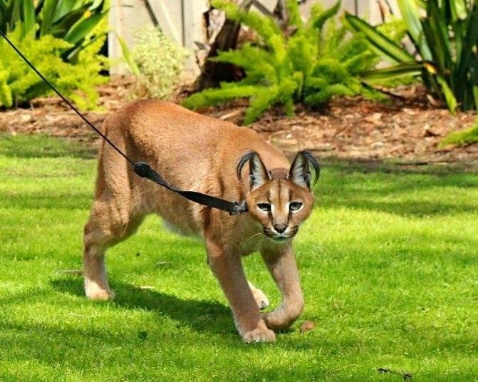 Кошка, похожая на рысь: как называется домашняя порода