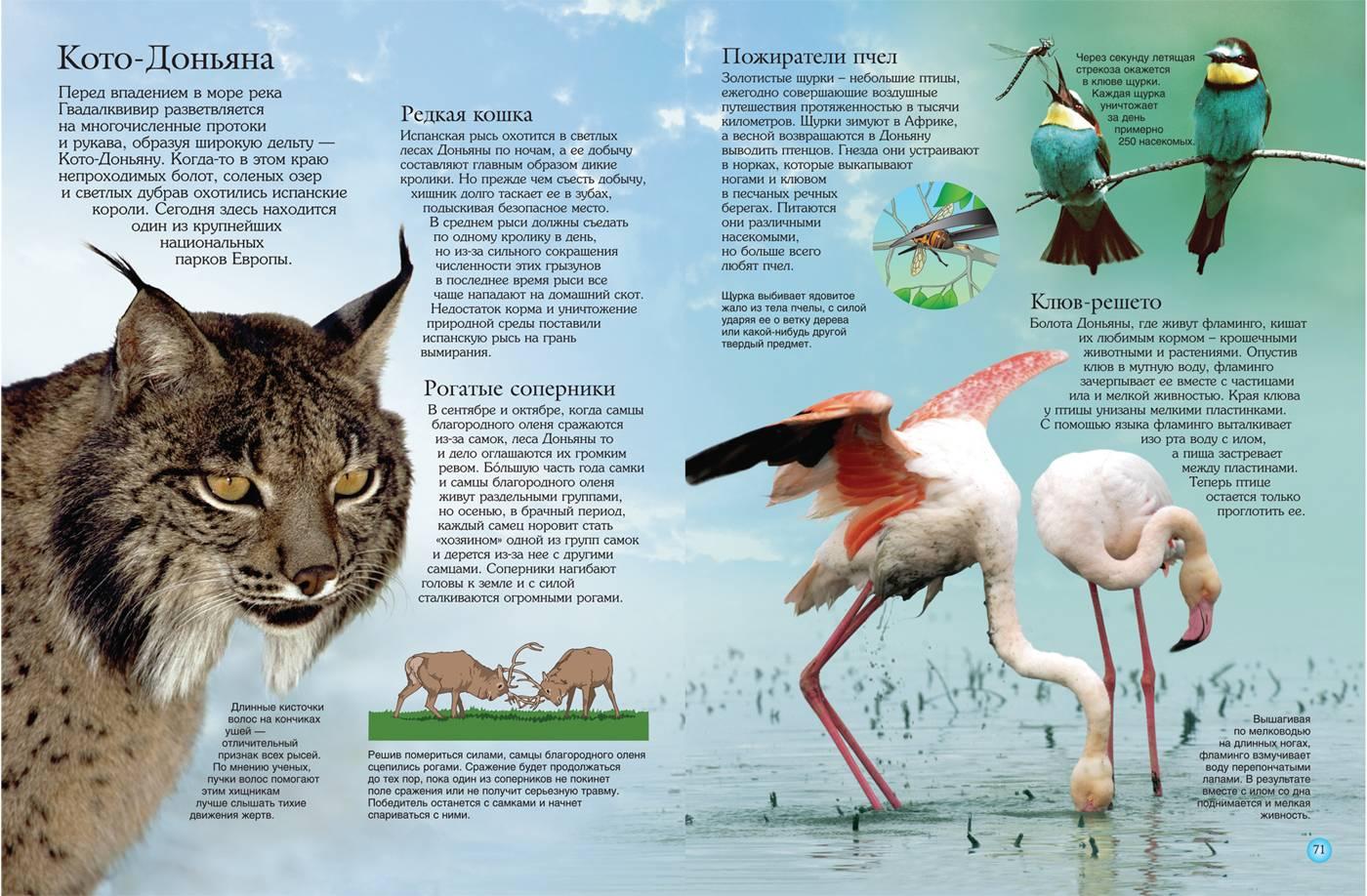 50 самых интересных фактов о рыси — общенет