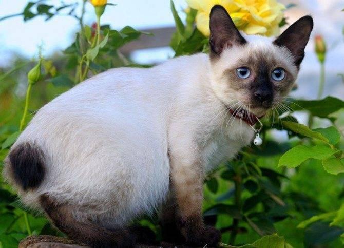 Меконгский бобтейл - описание породы и характер кошки