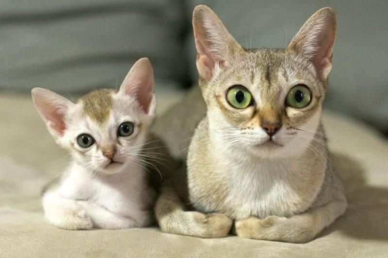 Сингапурская кошка – особенности внешнего вида и поведения