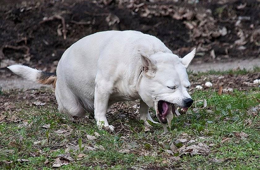 По каким причинам собаку может рвать жидкостью с желтой пеной у рта