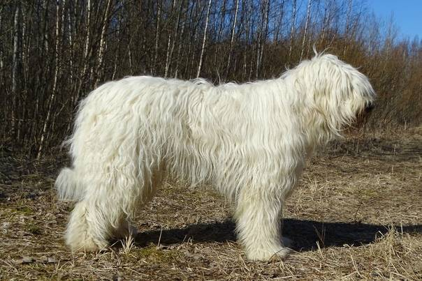 Южнорусская овчарка: грозный сторож