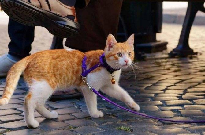 Как надеть шлейку на кошку? 21 фото пошаговая инструкция надевания на кота шлейки-жилетки и других видов шлеек