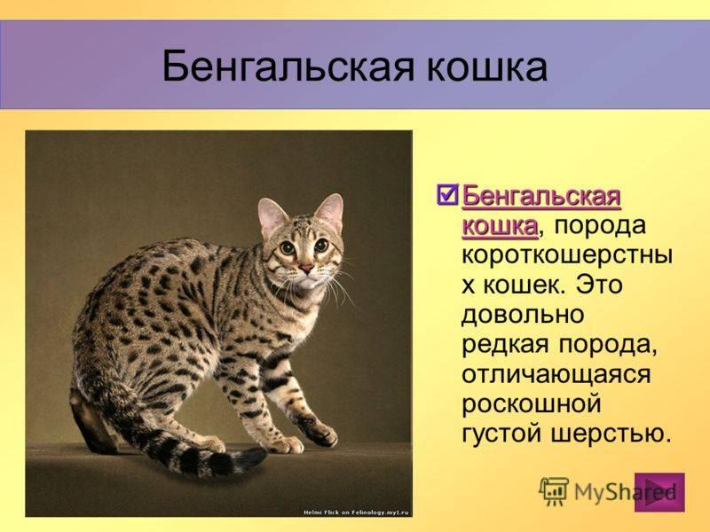Азиатская леопардовая кошка, похожая окрасом на леопарда: содержание