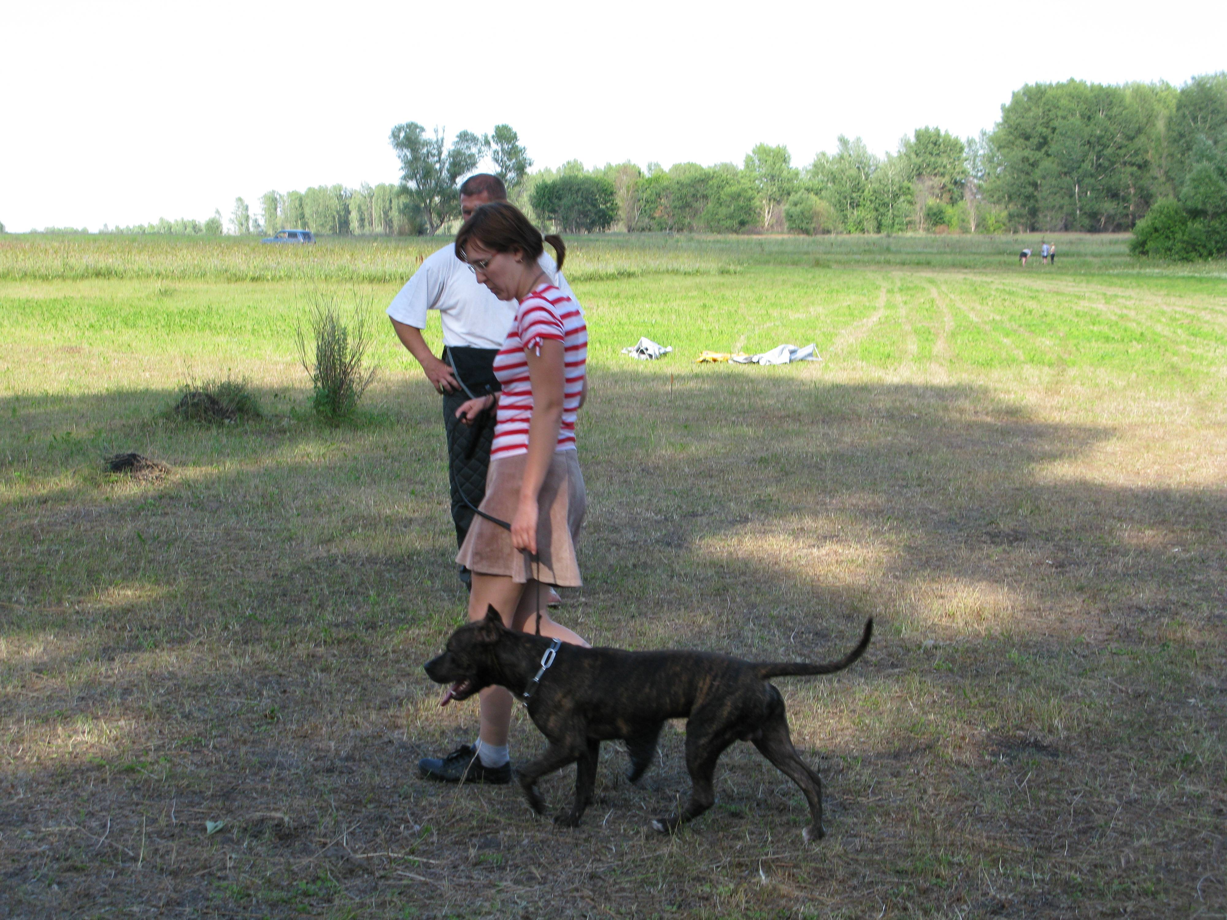 Питбуль (американский питбультерьер): все об этой породе собак от а до я