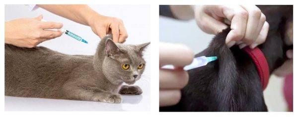 Способ применения уколов глобфел-4 для кошки: как колоть по инструкции