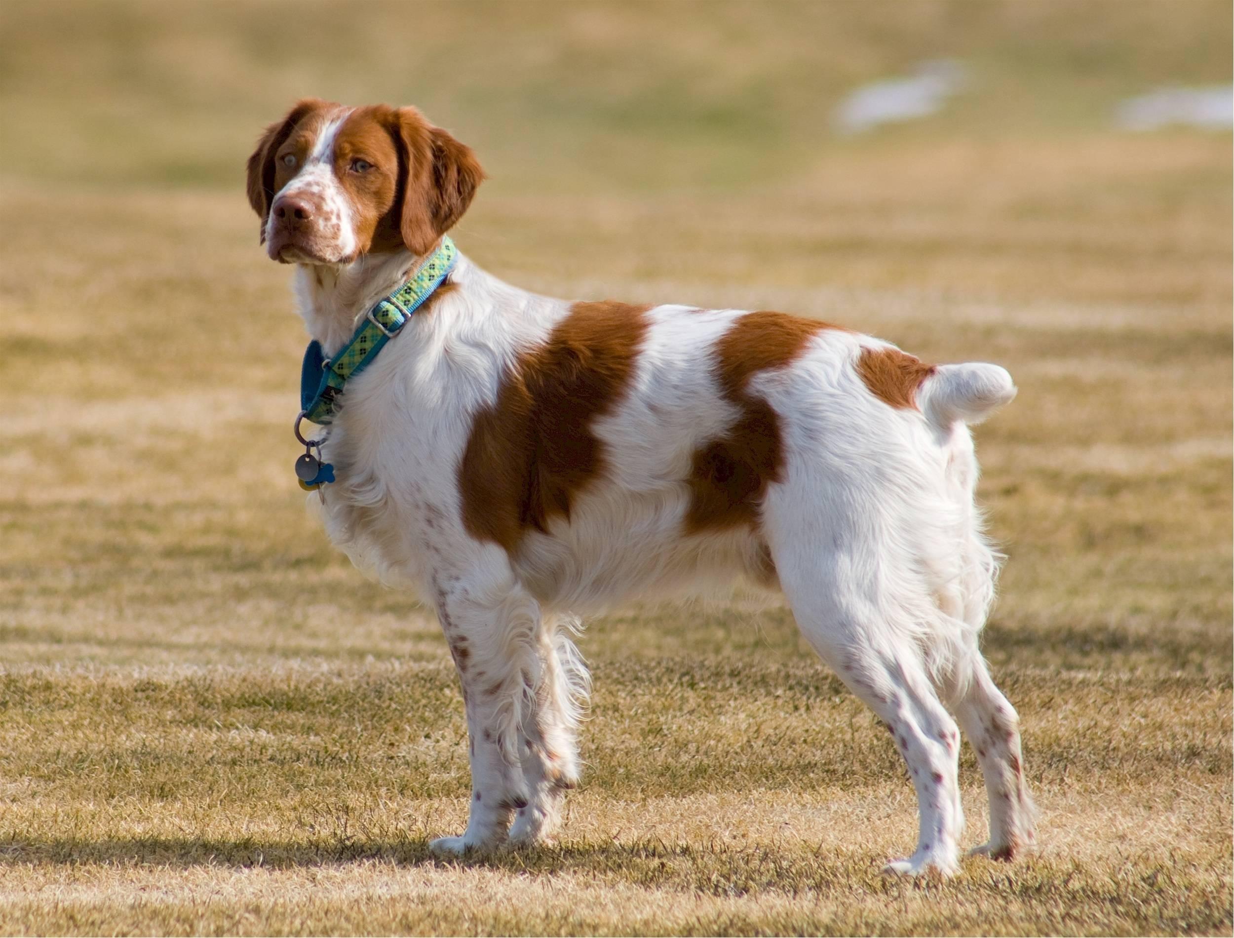 Бретонский эспаньоль (французский спаниель): фото собак, история происхождения и описание породы, а так же где можно купить щенка