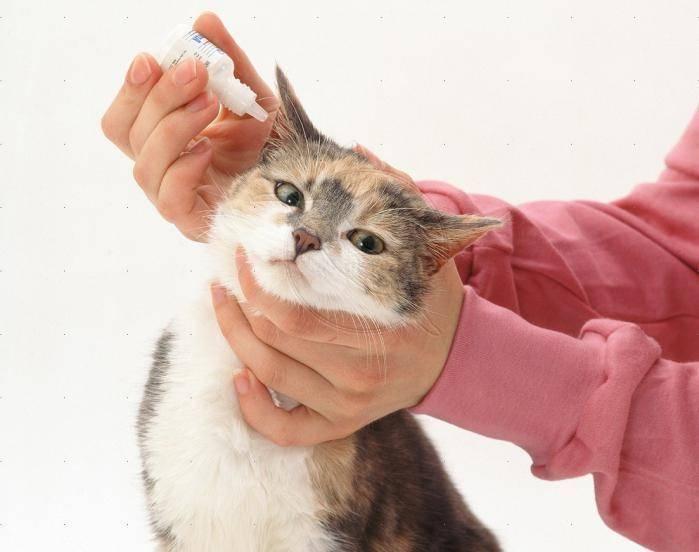 Что делать, если у кошки внутри уха грязно?