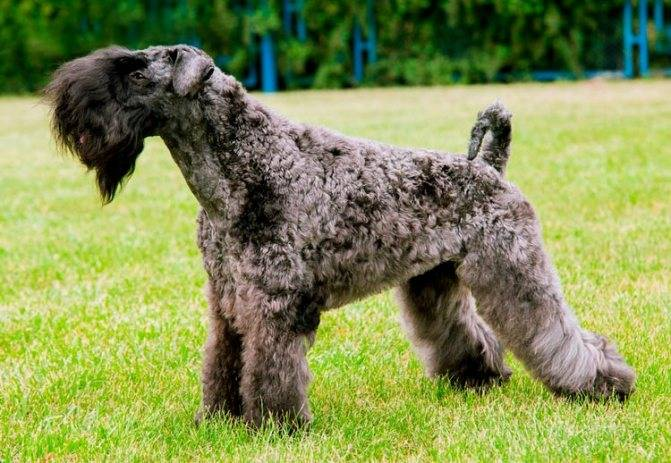 Керри-блю-терьер — описание породы и характер собаки