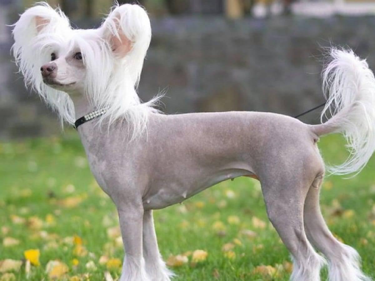 Собаки которые не линяют - фото и описание
