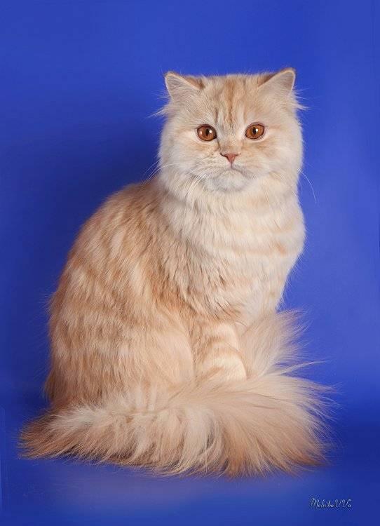 Длинношерстные шотландские кошки: разновидности и особенности содержания