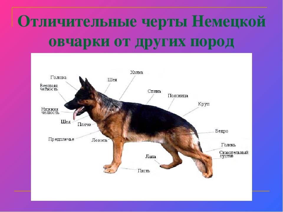 Восточно-европейская овчарка (вео)