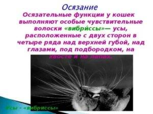 Отрастут ли у кота усы если обрезать?