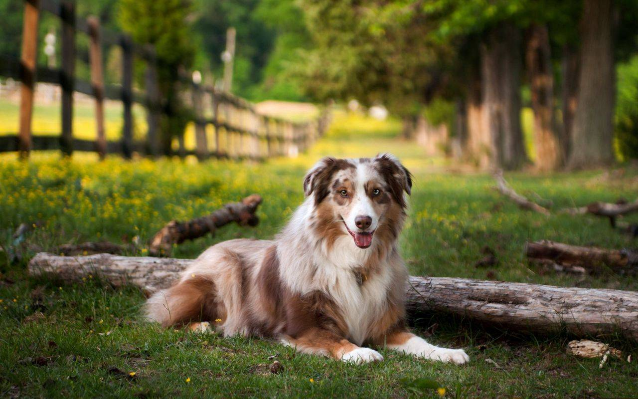 Австралийская овчарка: фото, купить, видео, цена, содержание дома