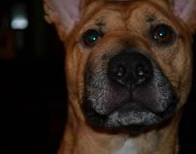 У собаки опухла левая часть морды