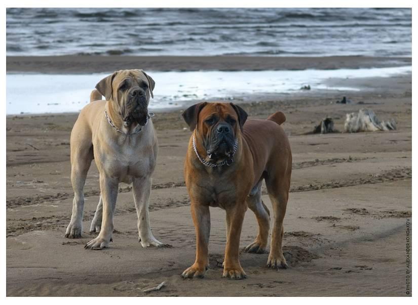 Бурбуль — описание породы и характер собаки