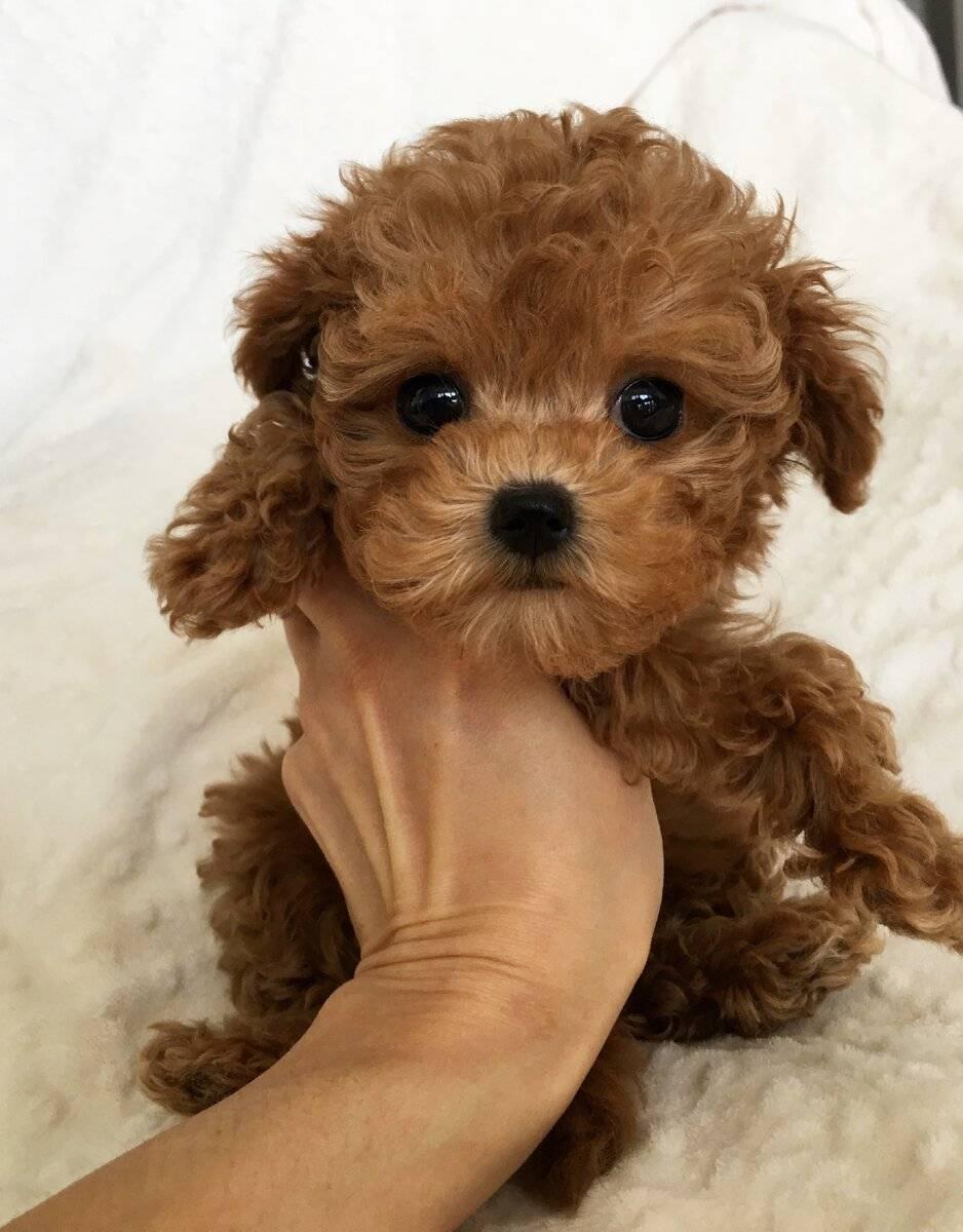 Мальтипу (55 фото): описание взрослых собак и щенков породы мальтипу. их размеры. виды стрижек мини-собак