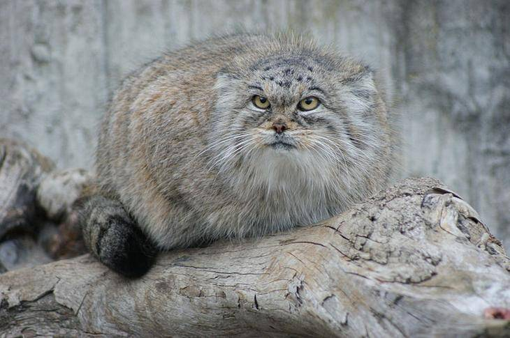 Описание болотного кота манула